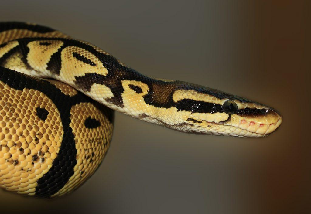 ball python care philadelphia PA